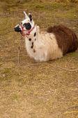 Llama (Lama glama) in nature — Stock Photo