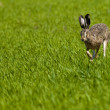 Stock Photo: Hare Running on Green Field