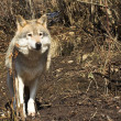 Grey Wolf in Autumn - Stock fotografie