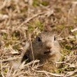 European Ground Squirell or Souslik Portrait - Stock fotografie