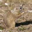 European Ground Squirrel — Stock Photo