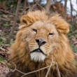 Lion at Zoo - Stock Photo
