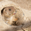 Royalty-Free Stock Photo: Black Tailed Prairie Dog