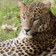 Leopard laid down portrait - Stock Photo