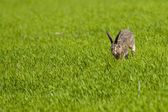 Hare running through green grass — Stock Photo