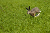 Hare Running over a green field — Stock Photo