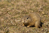 European Ground Squirell or Souslik — Stock Photo