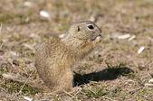 Souslik or European Ground Squirrel — Stock Photo