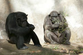 Twee chimpansees in dierentuin — Stockfoto