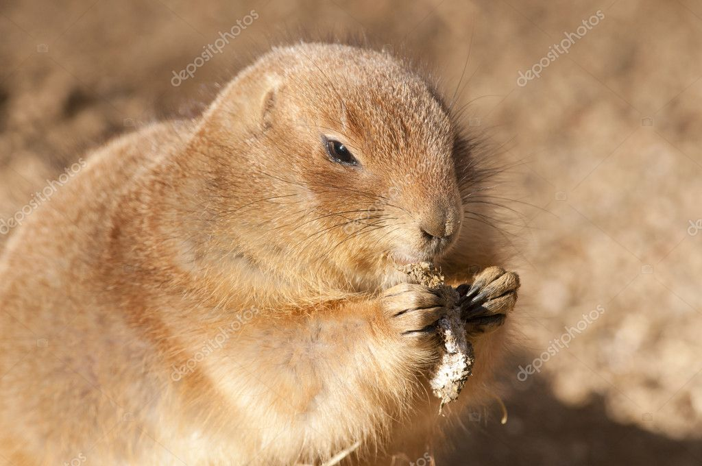 Black Tailed Prairie Dog Portrait — Stock Photo #8198680