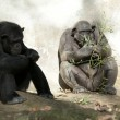 Stock Photo: Two Chimpanzees at Zoo
