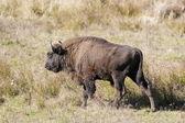 Bisonte europeo — Foto Stock
