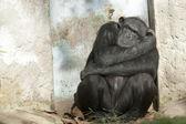 Chimpanzee sleeping near a door — Stock Photo