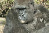 Mãe gorila e o bebê — Foto Stock