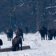 Stock Photo: Herd of EuropeBisons (Bison bonasus) waitnig for food in Winter