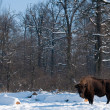 European Bison (Bison bonasus) in forest in Winter — Stock Photo