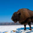 European Bison (Bison bonasus) eating Corn Cobs — Stock Photo