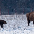Stock Photo: Adult and Calf od EuropeBison in Winter
