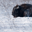 Stock Photo: EuropeBison Rolling Over in Snow