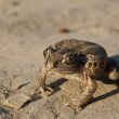 Stock Photo: Common Spadefoot