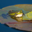 Edible Frog on Waterlily leaf — Stock Photo