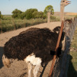 Stock Photo: Ostrich (Struthio camelus) portrait
