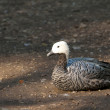 Stock Photo: Upland or MagellGoose
