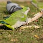 Постер, плакат: Quaker Parrots feeding