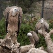 Stock Photo: Griffon Vulture Standing