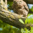Little Owl in a tree — Stock Photo