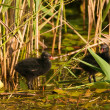 Moorhen Coot chicks — Stock Photo #8225512