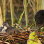 Common Coot Chicks — Stock Photo