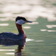 Stock Photo: Red Necked Grebe in Danube Delta