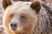 Brown Bear Portrair — Stock Photo