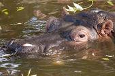 Hippopotamus Portrait — Stock Photo