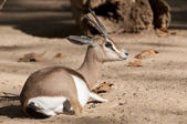Dorcas Gazelle Laid Down — Stockfoto