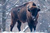 European Bison (Bison bonasus), male, looking in Winter — Stock Photo