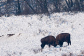 Two European Bisons (Bison bonasus) fighting on Snow — Stock Photo