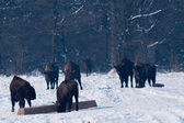 Herd of European Bisons (Bison bonasus) waitnig for food in Winter — Stock Photo