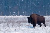 European Bison (Bison bonasius) in Winter — Stock Photo
