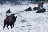 Herd of European Bison (Bison bonasus) resting — Stock Photo