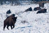 Herd of European Bison (Bison bonasus) resting — Stock Photo