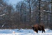 European Bison (Bison bonasus) in forest in Winter — Stock Photo