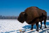 European Bison (Bison bonasus) eating Corn Cobs — Stock Photo