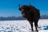Lowing European Bison (Bison bonasus) female — Stock Photo