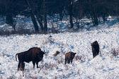 European Bison (Bison bonasus) family — Stock Photo