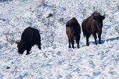 Three European Bisons in Winter — Stock Photo