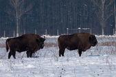 Two Males of Eurpean Bison (Bison bonasus) in Winter — Stock Photo