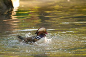 Mandarin Duck Drake — Fotografia Stock