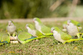 Quaker Parrots feeding — Stock Photo